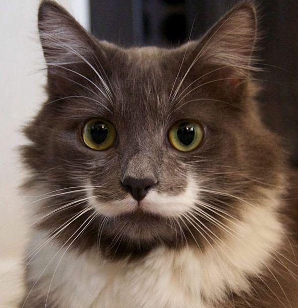 The Mustache cat