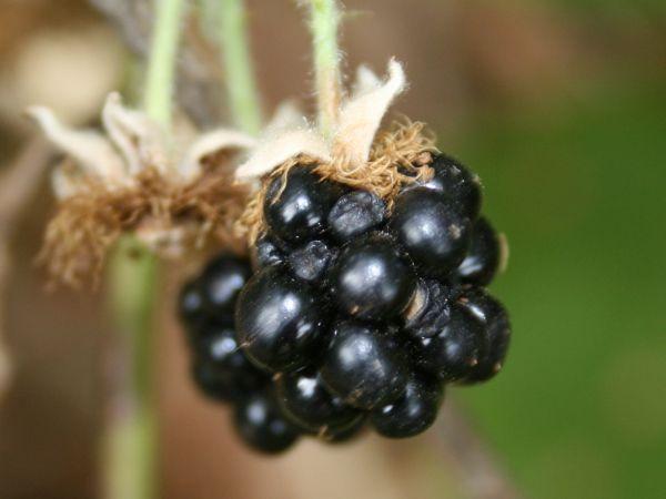 The Himalayan Blackberry