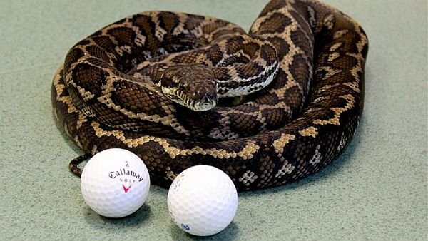 Golf Balls from a Snake's Gut