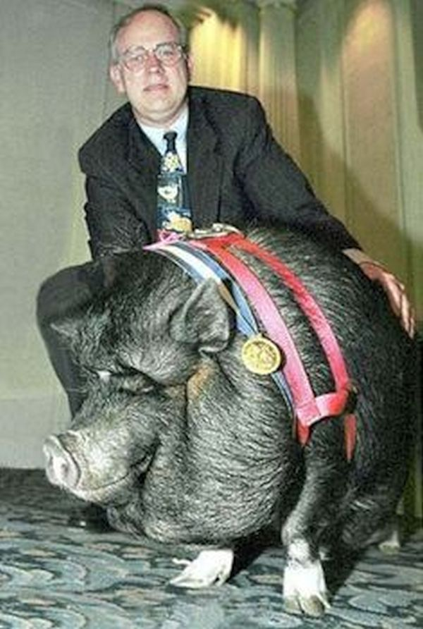Pig saves owner's life