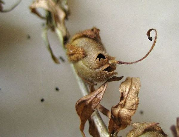 Snap Dragon Seed Pod