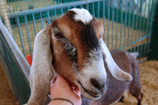 goat Mandy