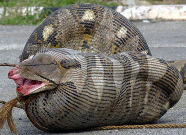 Python and the pregnant sheep