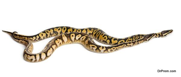 Male and female Pastel calico Royal Python, ball python, Python regius, in front of white background